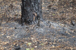 Scorched Pine Tree Trunk
