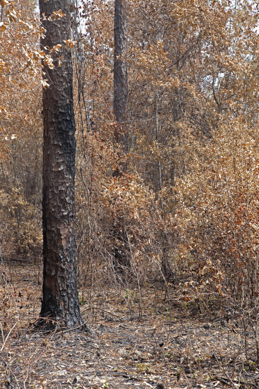 Scorched Pine Trees Surrounded by Trees with Brown Leaves