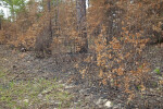 Scorched Trees at the Chinsegut Wildlife and Environmental Area