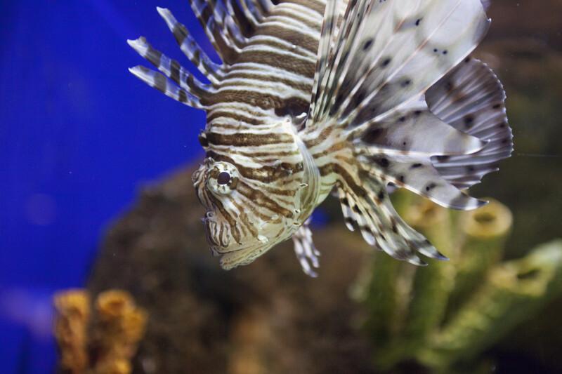 Scorpionfish Detail