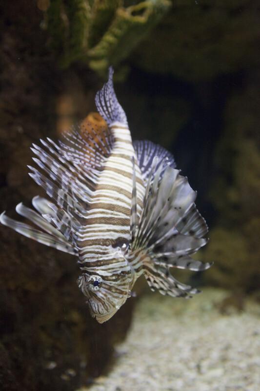 Scorpionfish Swimming Towards Bottom