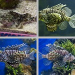 Scorpionfish photographs