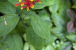 Scutellaria costaricana Leaf