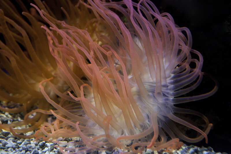 Sea Anemone in Tank at the Artis Royal Zoo