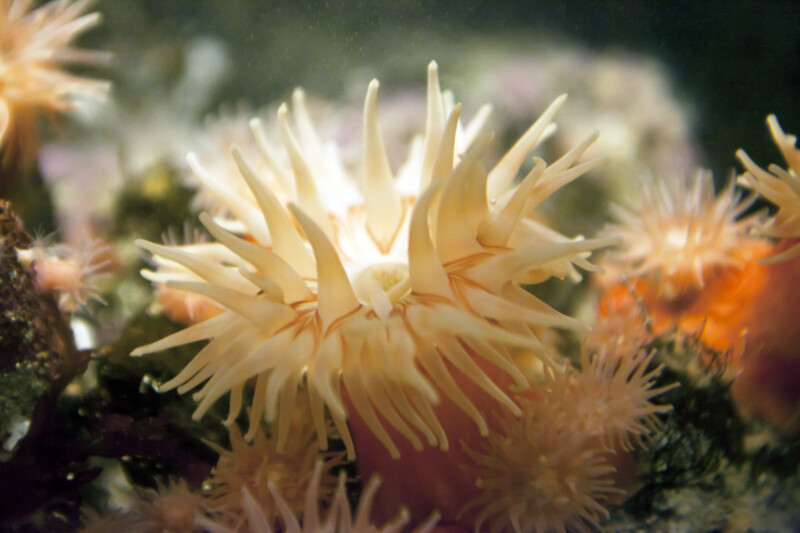 Sea Anemone Tentacles Close-Up