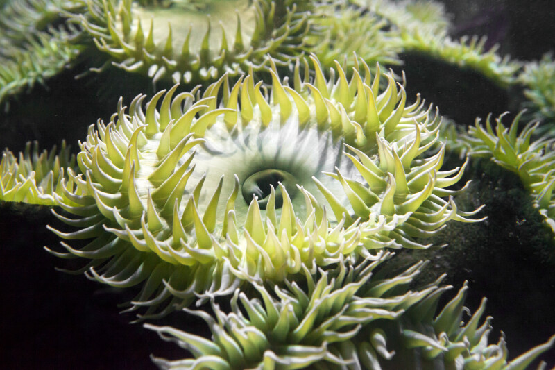 Sea Anemone with Green Tentacles