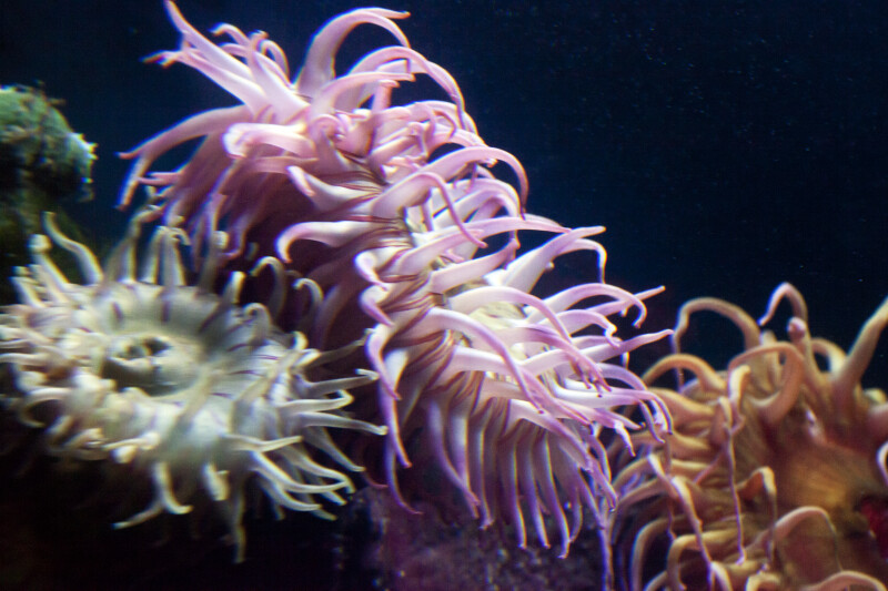 Sea Anemone with Purple and White Tentacles