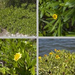 Sea Daisies photographs