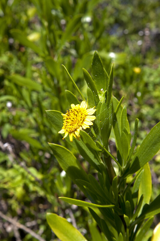 Sea Daisy's Yellow Flower and Green Leaves