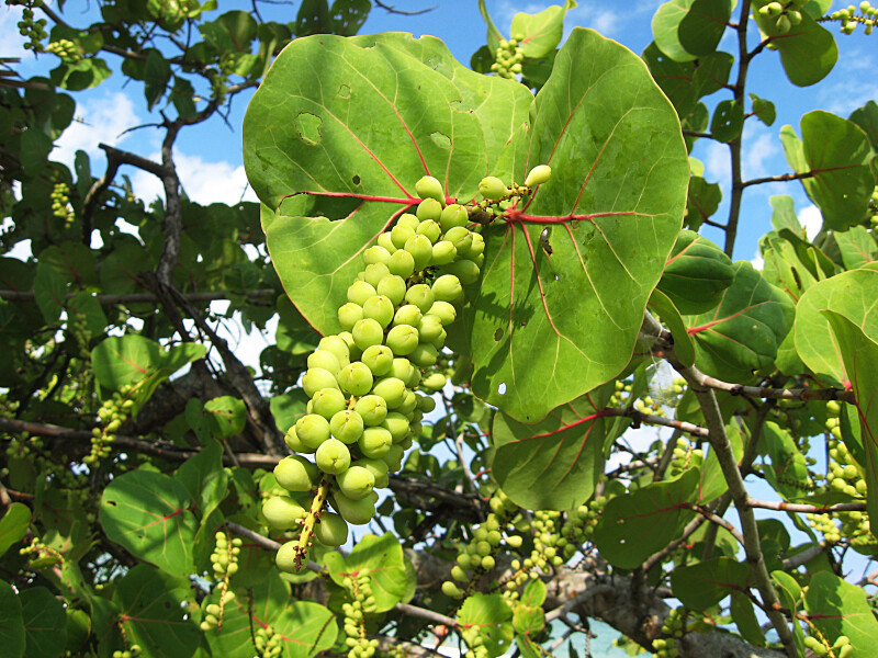 Sea Grape Leaf and Fruit