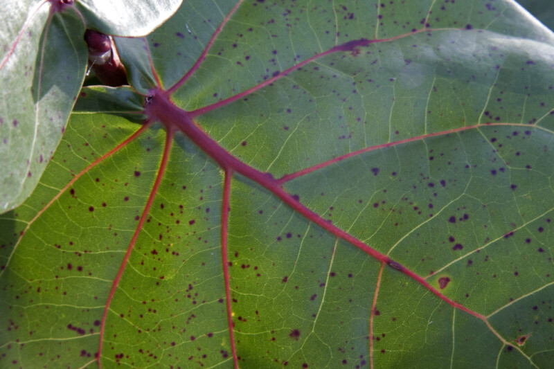 Sea Grape Leaf Close-Up
