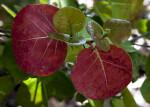 Sea Grape Leaves at Biscayne National Park