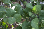 Sea Grape Leaves at Windley Key Fossil Reef Geological State Park