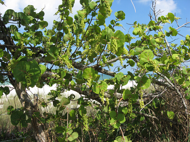 Sea Grape Near Beach