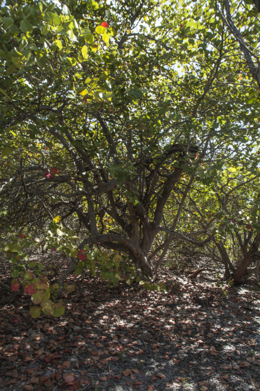 Sea Grape Tree at Biscayne National Park