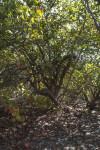 Sea Grape Tree at Biscayne National Park
