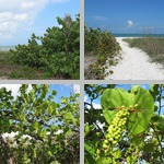 Sea Grape Trees photographs