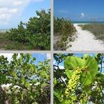 Sea Grape Trees photographs