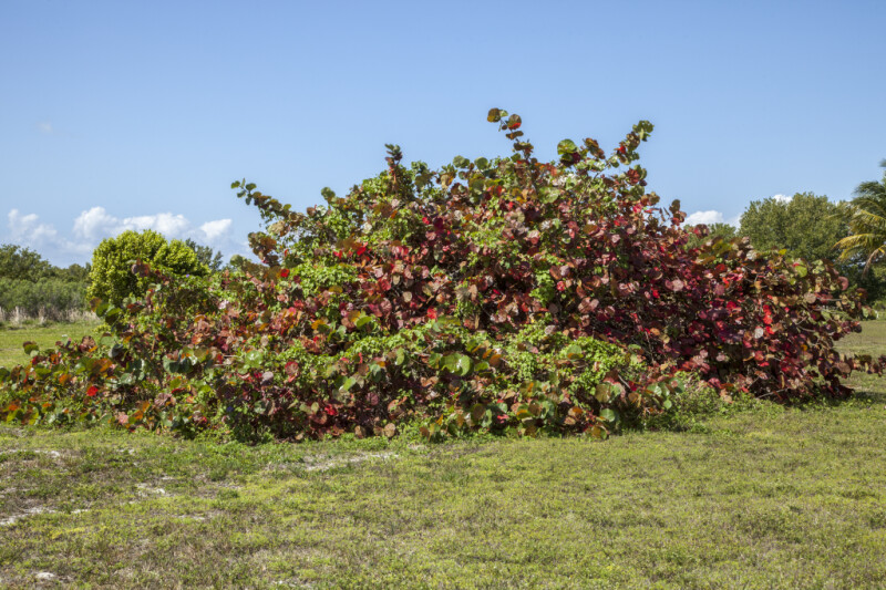 Sea Grapes Growing in a Field of Grass at Biscayne National Park