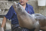 Sea Lion in Lap of its Trainer with its Head Raised