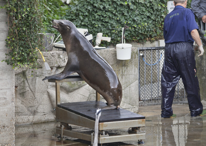 Sea Lion with Front Flippers on a Platform at the Artis Royal Zoo