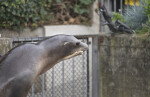 Sea Lion with its Head in the Hand of its Trainer