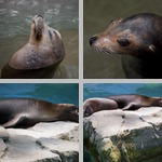 Sea Lions photographs