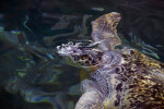 Sea Turtle Exhaling in Water