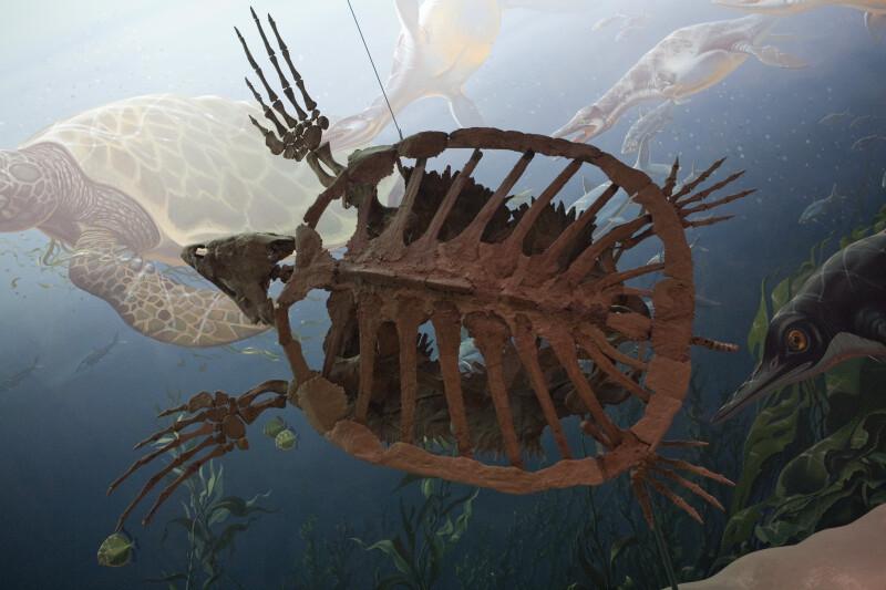 Sea Turtle Skeleton