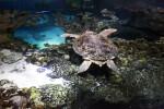 Sea Turtle Swimming Above Coral