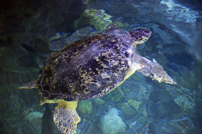 Sea Turtle Swimming in Tank