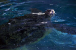 Sea Turtle with Head Partially Above Water