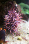 Sea Urchin with Light Purple Spikes