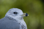 Seagull Close-up
