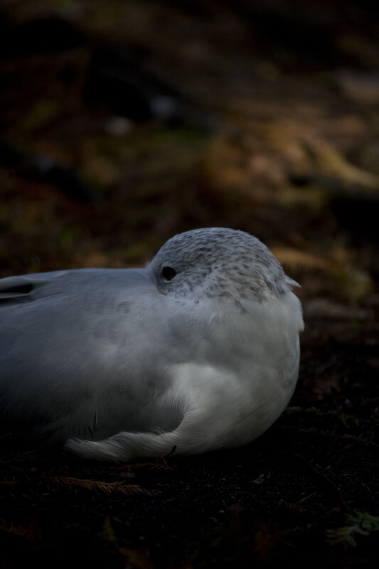 Seagull on the Ground