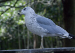 Seagull on Wooden Railing