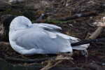 Seagull Sleeping