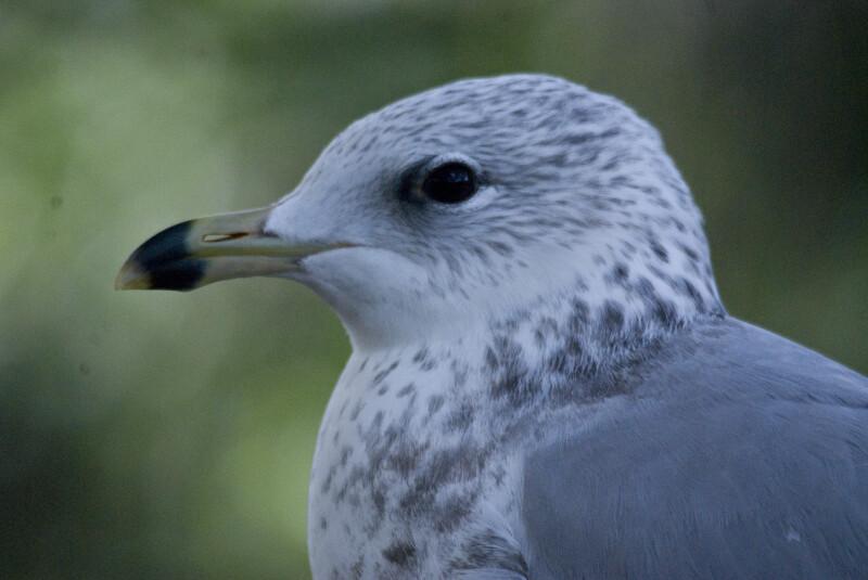 Seagull's Head