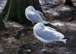 Seagulls Under Tree