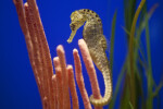 Seahorse with Numerous Black Spots
