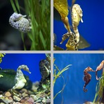 Seahorses photographs
