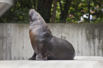 Seal With Head Raised