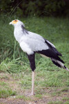 Secretarybird in Grass
