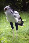 Secretarybird Standing