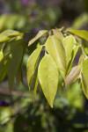 Securidaca diversifolia Leaves