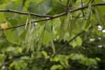 Seed Pods Hanging from the Branch of a Redbud Tree