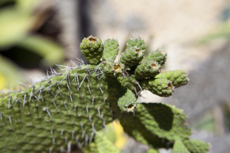 Semaphore Cactus Buds
