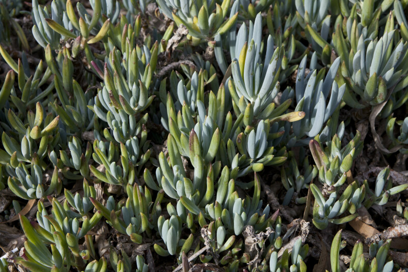 Senecio mandraliscae Leaves Close-Up