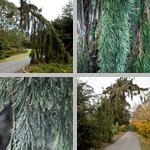 Sequoia Trees photographs