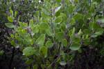 Serpentine Manzanita Branches